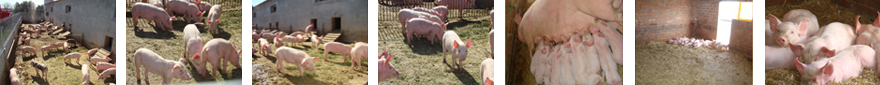 Porcs ecològics
