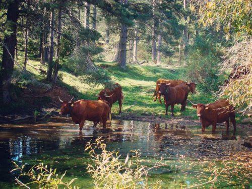 vaques bassa busa cal monegal